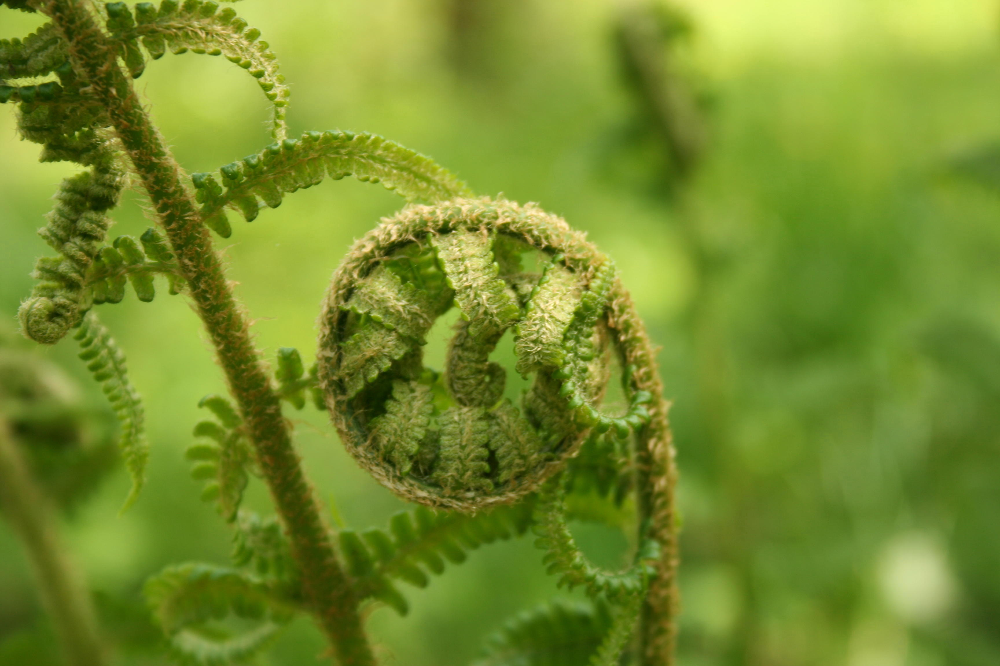 fern in springtime